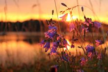 Bellflowers On The Lakeshore At Dawn