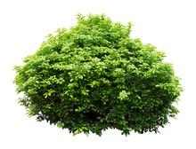 Ornamental Tree
