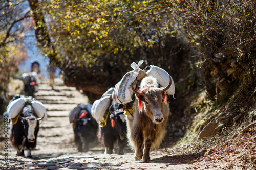 Fotografie, Obraz  Yaks carrying weight in Nepal