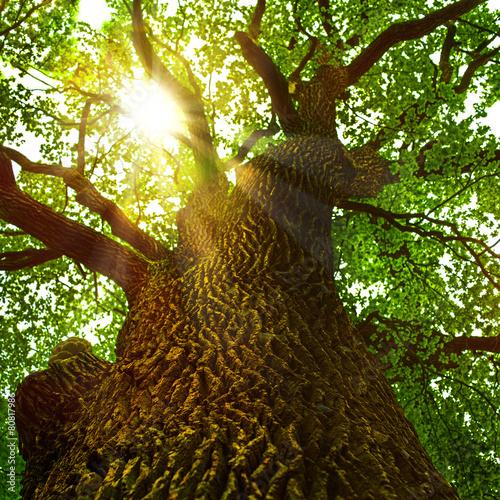 Fotografía  Sonnenstrahlen brechen sich in der Baumkrone einer alten Eiche