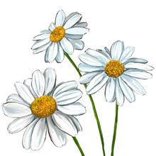 Daisy Vector Illustration  Han...