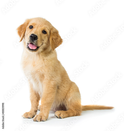 Golden Retriever dog sitting on the floor, isolated on white bac Canvas