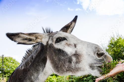 Photographie Âne mange de l'herbe dans une main