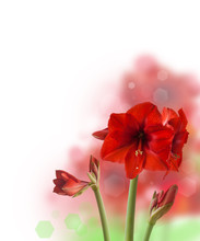 Red Hippeastrum  Over White  Background