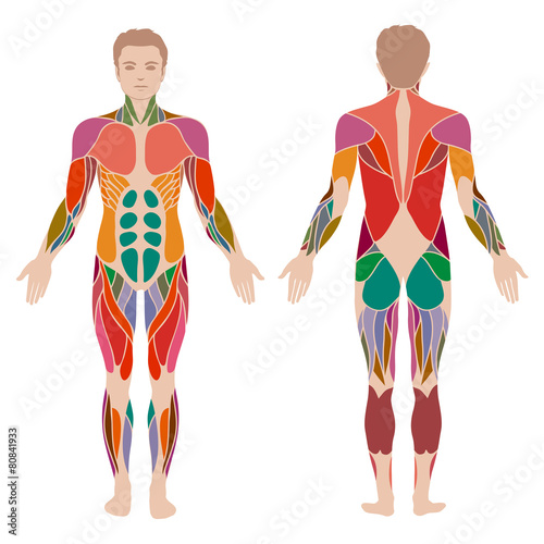 Fotografie, Obraz  vector muscular human body, muscle man anatomy,
