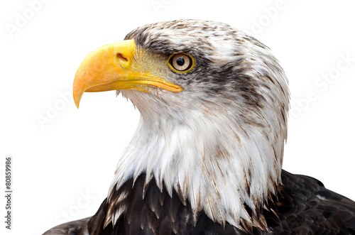 Spoed Foto op Canvas Eagle Bald Eagle - Haliaeetus leucocephalus
