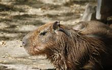 Capybara (Hydrochoerus Hydrochaeris) Resting