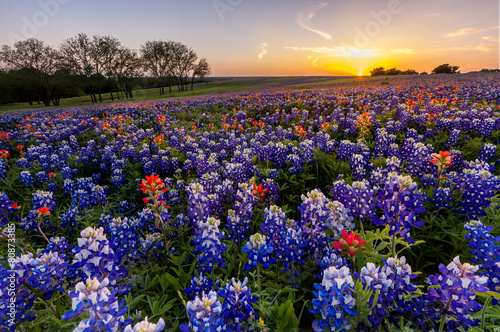 Montage in der Fensternische Texas Texas wildflower - bluebonnet filed in sunset