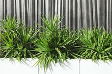 Yuccas En Jardinières