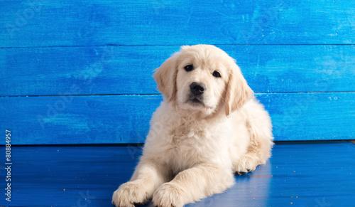 English Golden Retriever Puppy on Blue Wood Canvas Print