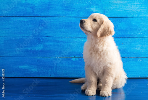 Fotografia, Obraz  English Golden Retriever Puppy on Blue Wood
