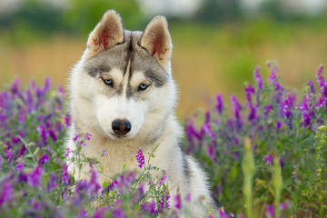 Fototapetapuppy of Siberian husky dog outdoors