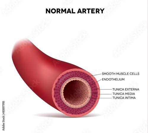 Photo Healthy human elastic artery