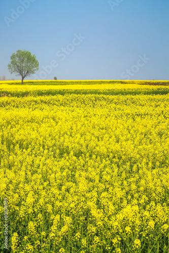 Deurstickers Geel spring landscape of rape in full bloom