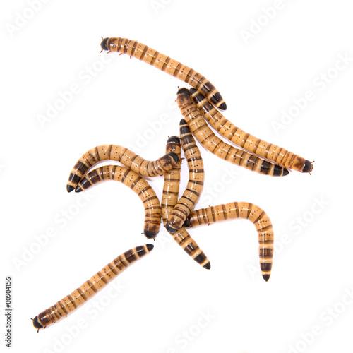 beetle larvae