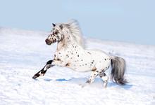 Appaloosa Pony Runs Free Through The Winter Field