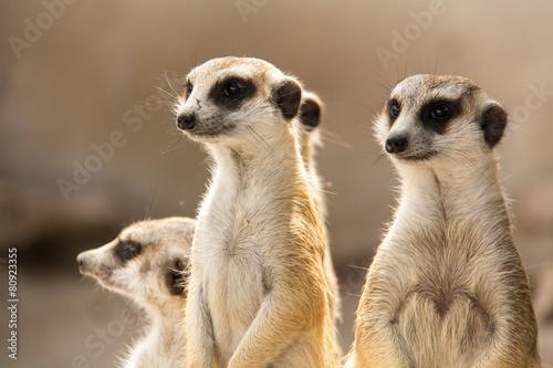 Fotografie, Obraz  The meerkat.