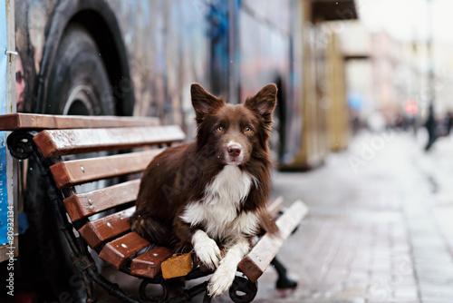 Border Collie dog perform tricks in the center of Moscow Tapéta, Fotótapéta