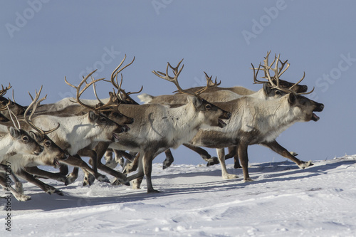 Photo  A herd of reindeer that runs on snow-covered tundra sunny winter