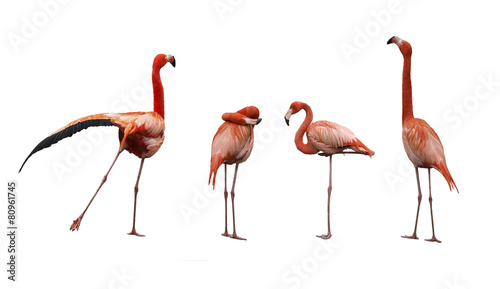 Garden Poster Flamingo Four pink flamingo birds isolated on white