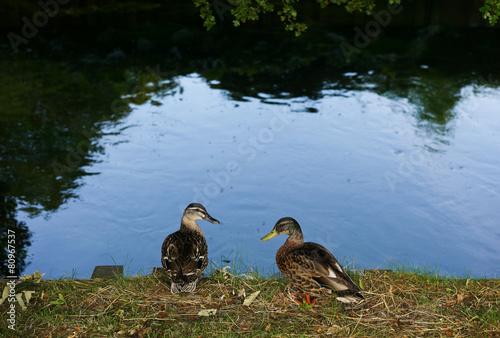 Fotografie, Obraz  Mallard ducks standing by a pond