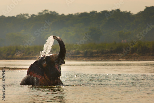 Fototapeta Elephant playing with water in a river, Chitwan