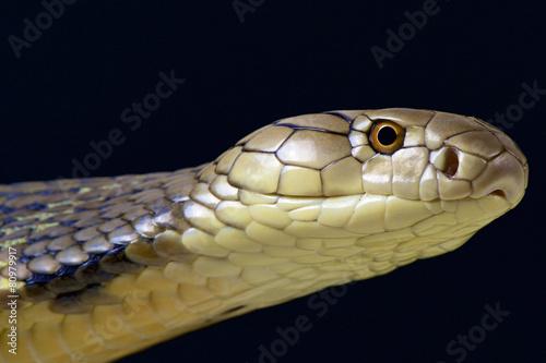 King Cobra (Ophiophagus hannah) Poster