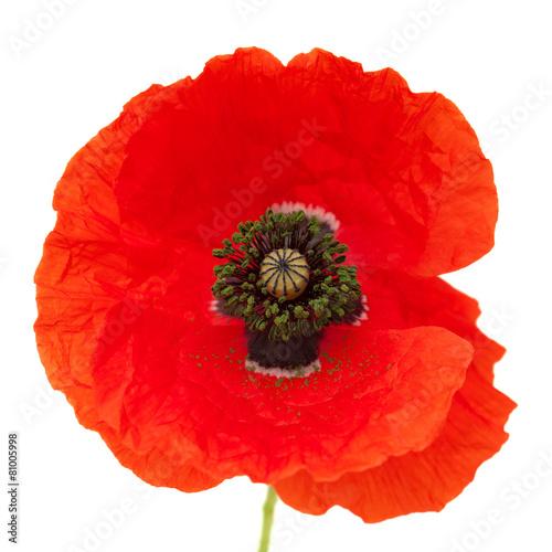 Fotobehang Poppy Bright red poppy