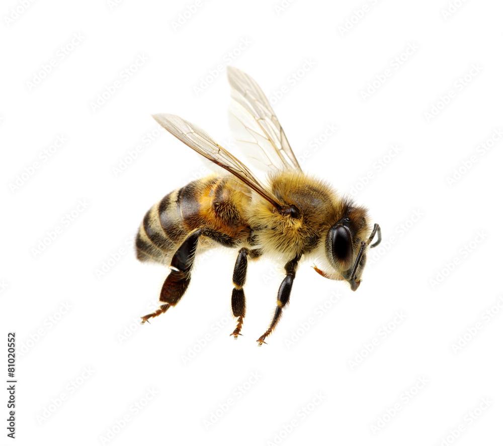 Fotografie, Obraz Bee