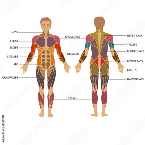 Fotografija vector muscular human body, muscle man anatomy,