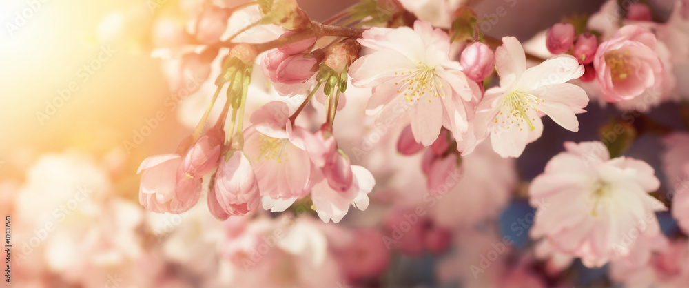 Fototapeta Kirschblüten in sanften Retro-Farben