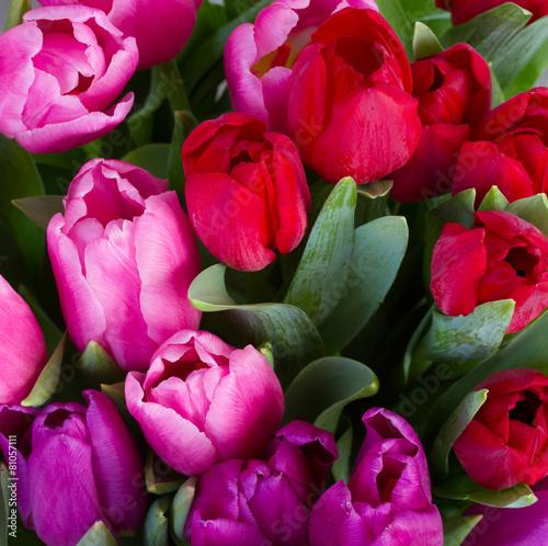 czerwone-i-fioletowe-kwiaty-tulipanow