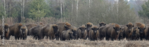 Poster Bison European Bison herd in snowless winter time against pine trees in morning