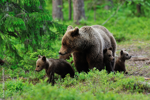 Obraz na plátně Brown bear with cubs in the forest