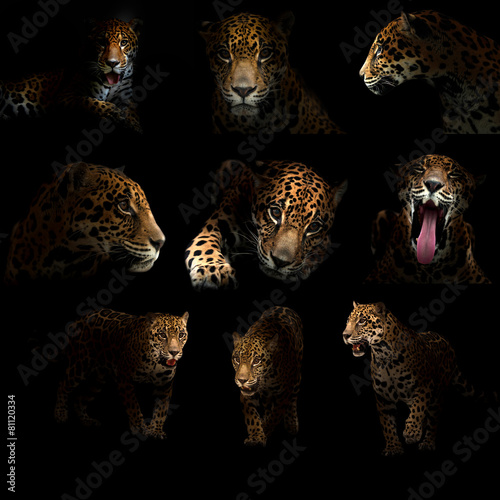 Poster Panther jaguar ( panthera onca ) in the dark