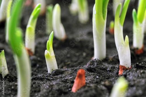 Fototapeta close-up of the onion plantation obraz