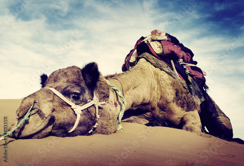 Canvas Prints Desert Animal Camel Desert Resting Concept