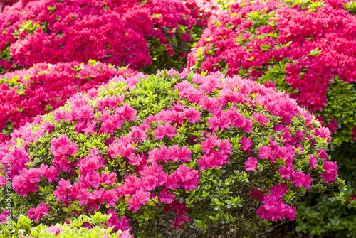Deurstickers Azalea ピンクと赤のツツジの花