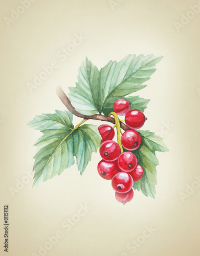 Watercolor illustrations of red currants - 81151112
