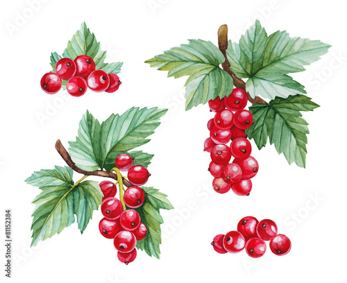 Watercolor illustrations of red currants - 81152384