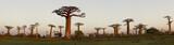 Fototapeta Sawanna - Baobab Alley - Madagascar