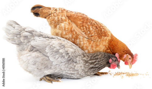 Photo sur Toile Poules Two hens and grains