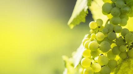 Fototapeta White grapes
