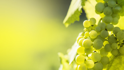 FototapetaWhite grapes