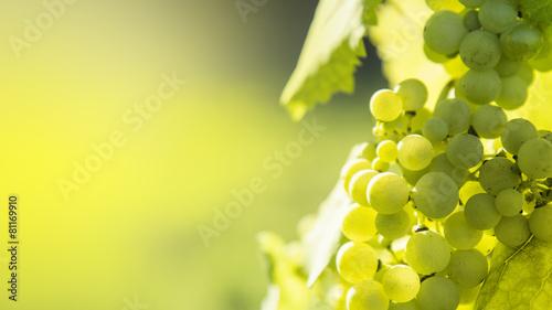 Foto  White grapes