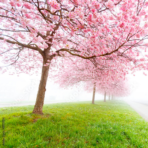 Sakura flowers in the early misty morning