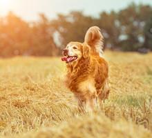 Golden Retriever In The Straw