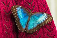 Blue Morpho Butterfly On Sweater