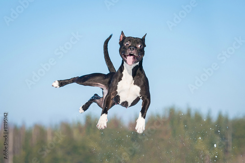 Poster Hond Funny amstaff dog with crazy eyes flying in the air