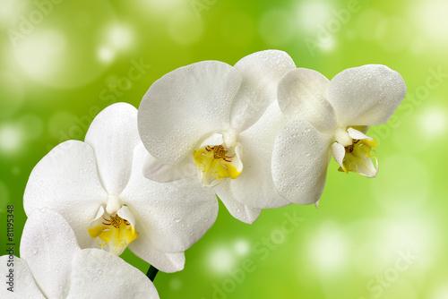 Biały mokry storczyk - 81195348